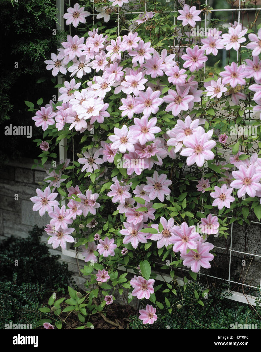 Pink Climbing Flower Stock Photos Pink Climbing Flower Stock