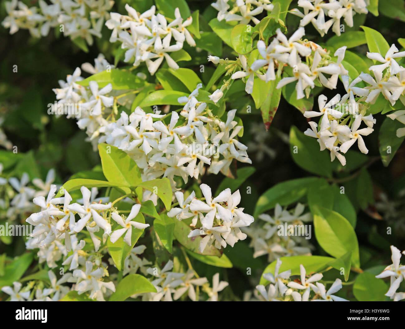 Jasmine very fragrant white flowers in spring stock photo 122914668 jasmine very fragrant white flowers in spring mightylinksfo