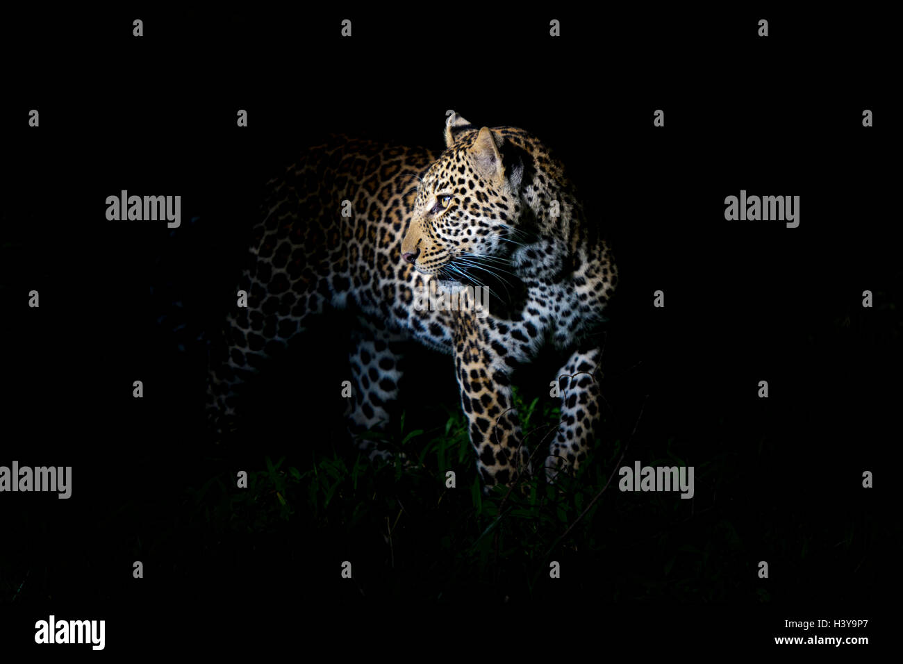 African Leopard (Panthera pardus) standing in the dark, illuminated on the head, Masai Mara national reserve, Kenya. - Stock Image