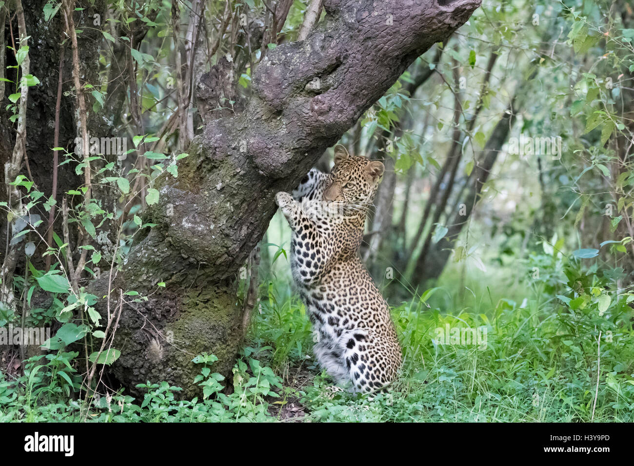 African Leopard (Panthera pardus) marking tree for territory in forest, Masai Mara national reserve, Kenya. - Stock Image