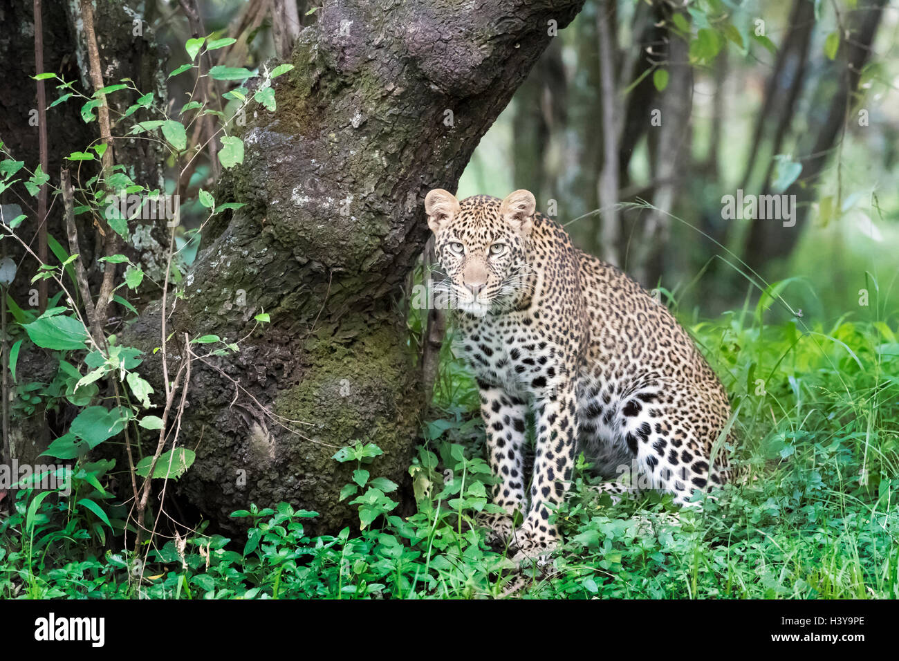 African Leopard (Panthera pardus) sitting in forest, looking at camera, Masai Mara national reserve, Kenya. - Stock Image