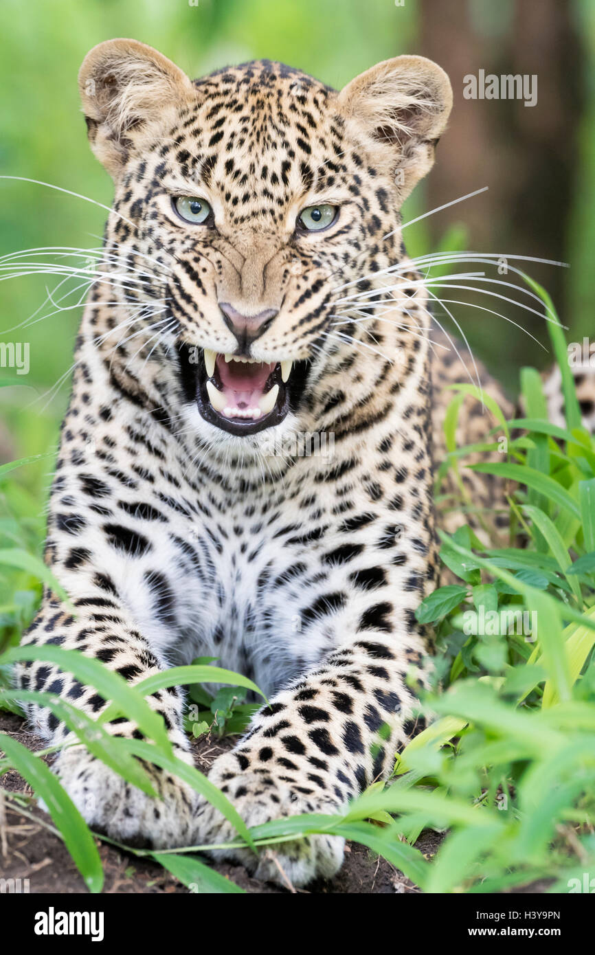 African Leopard (Panthera pardus) lying down in forest and yawning, Masai Mara national reserve, Kenya. - Stock Image