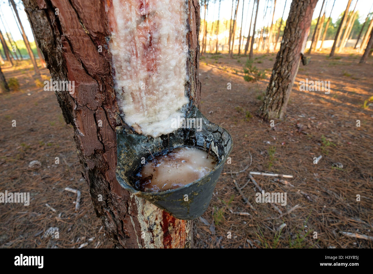 Resin extraction on pine tree - Stock Image