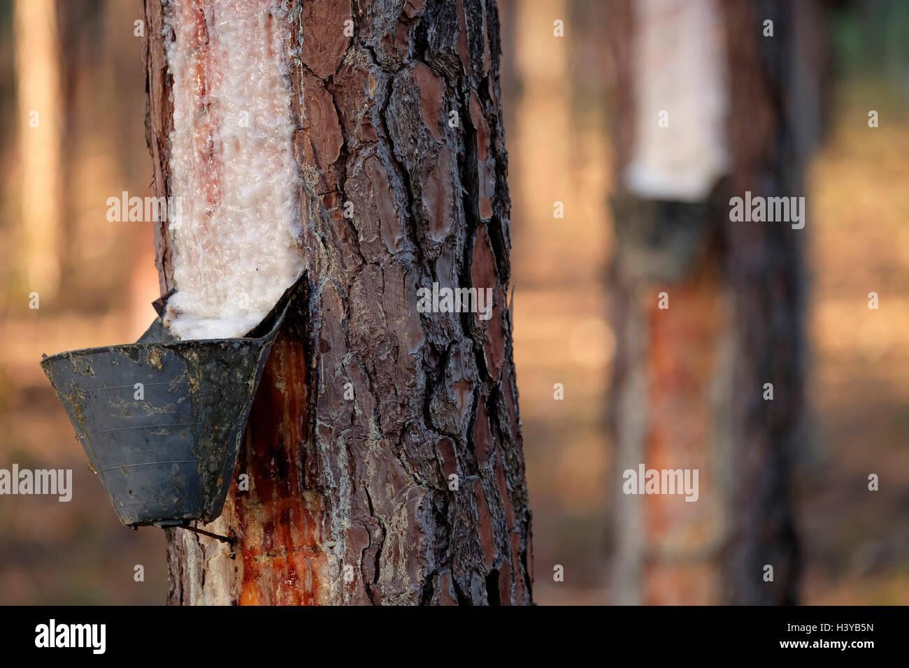 Resin extraction on pine tree Stock Photo
