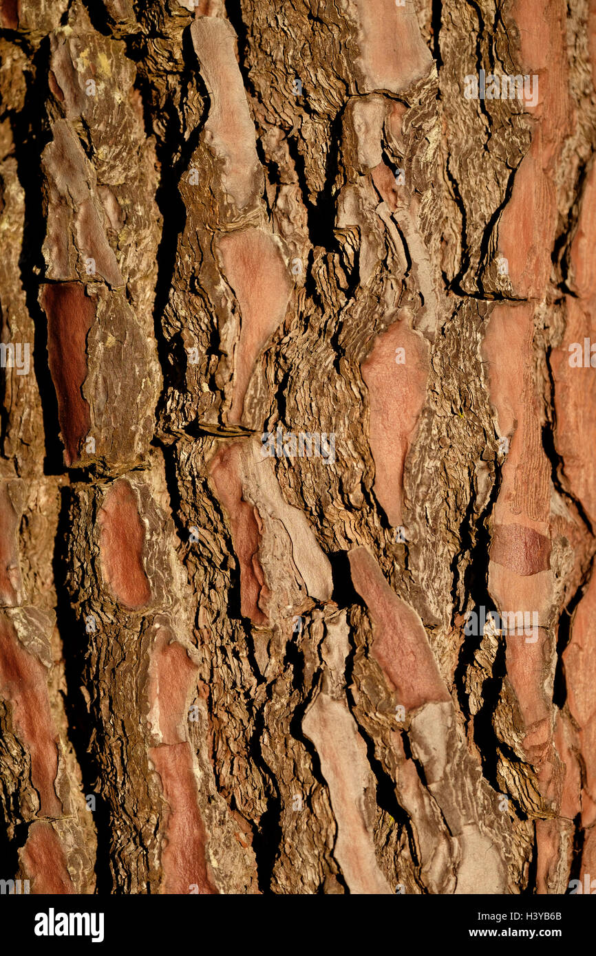 Close up of a pine tree trunk - Stock Image