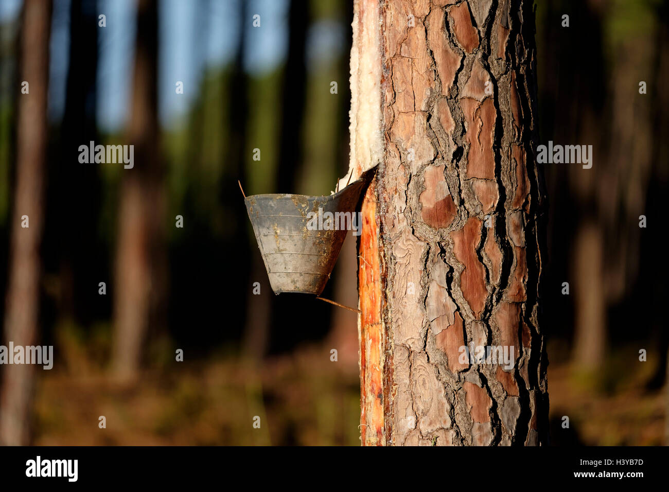 Resin extraction on pine tree Stock Photo