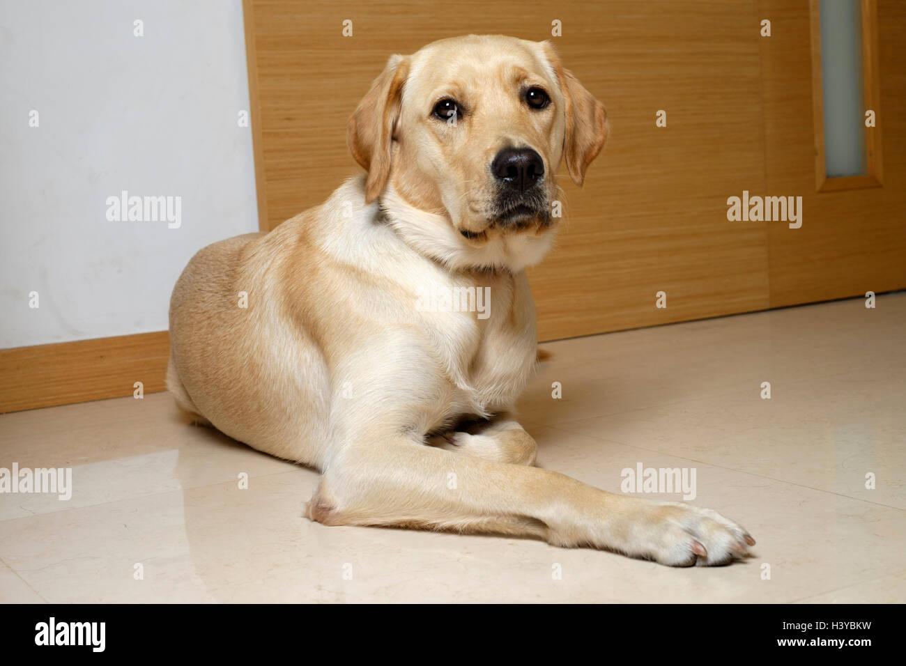 Golden Retriever Yellow Labrador Mix Stock Photos Golden Retriever