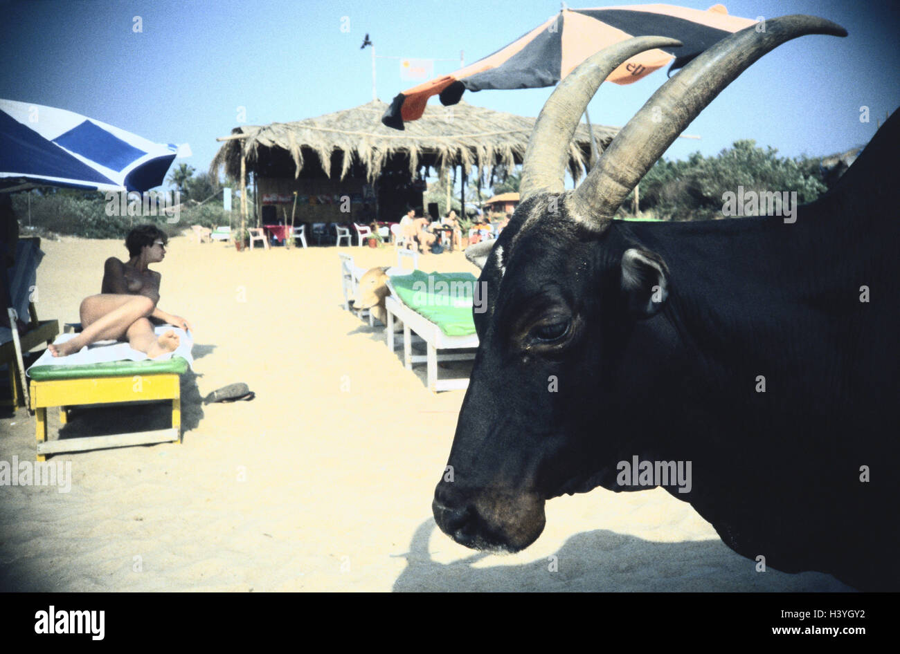 India, Goa, beach, bathers, cattles, holy cows, no model release tourism, vacation, beach, sandy beach, deck chairs, - Stock Image