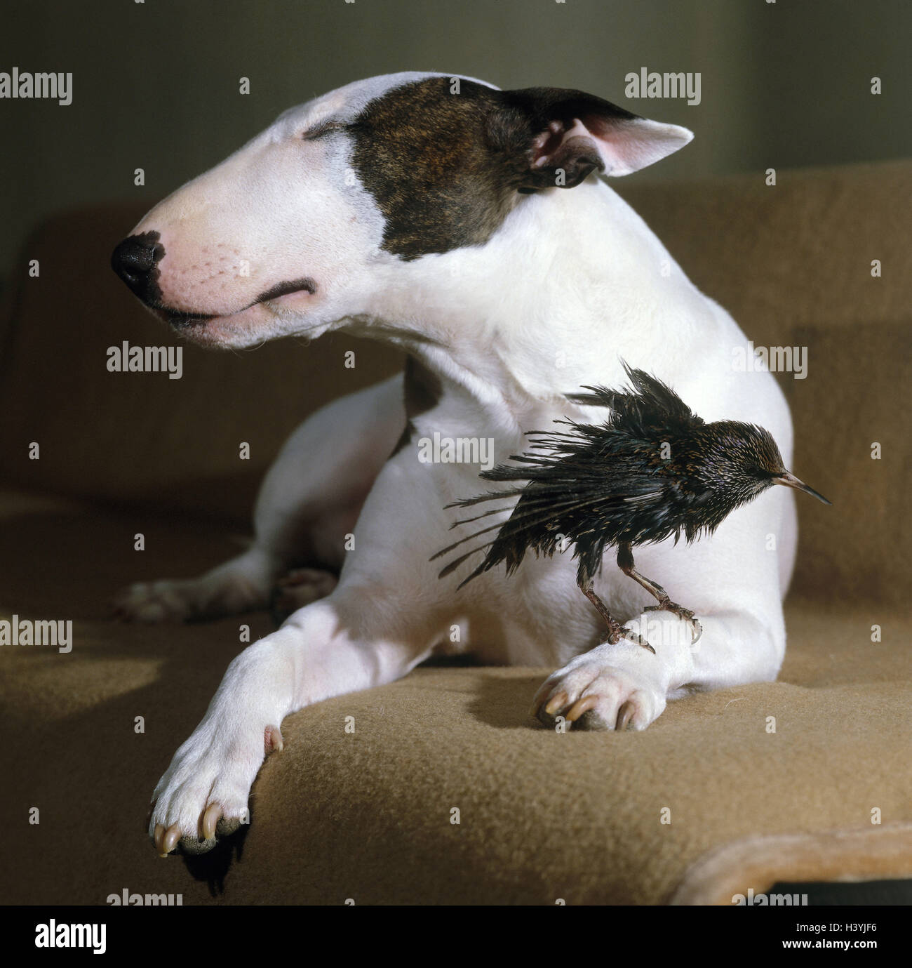 Bull terriers, sofa, lie, ruffle its feathers paw, glaucoma, mammal, dog, pet, animals, accompanying dog, dog breed, - Stock Image