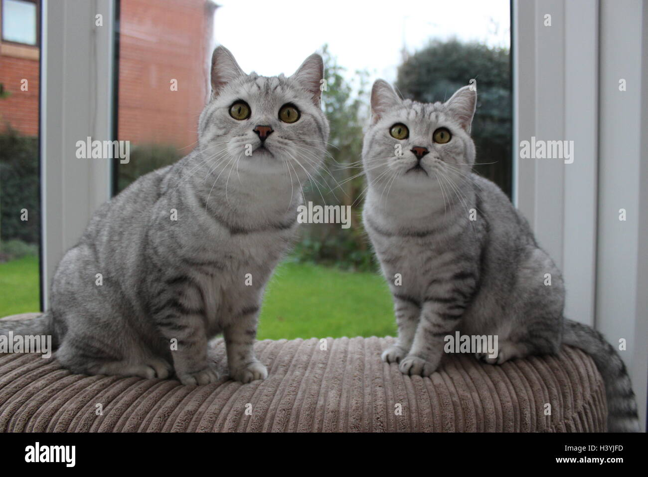 Two British Shorthair twin brother cats looking curious - Stock Image