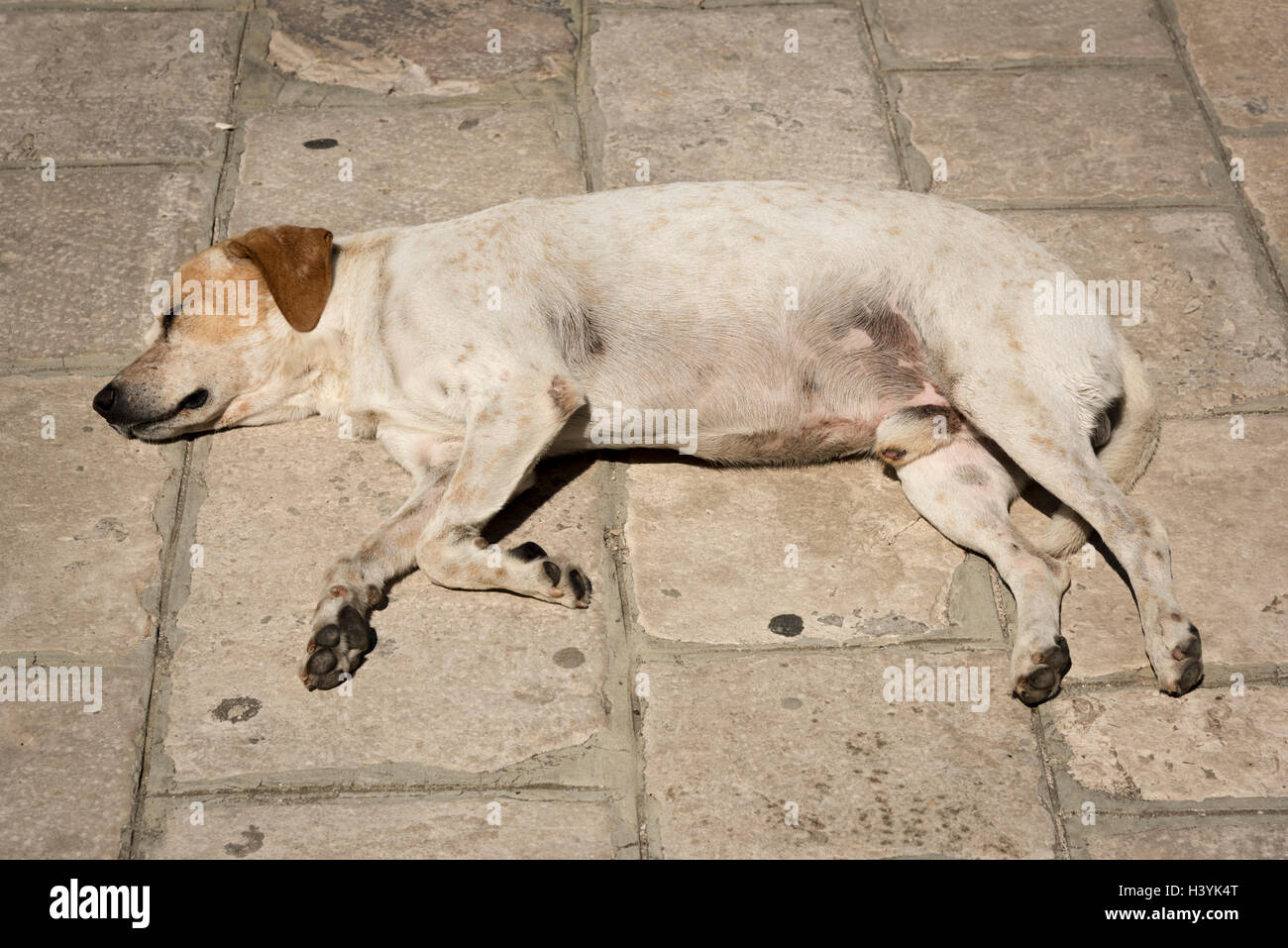 A mongrel dog sleeping in the hot sun on a stone path in the summer.  Let sleeping dogs lie. - Stock Image