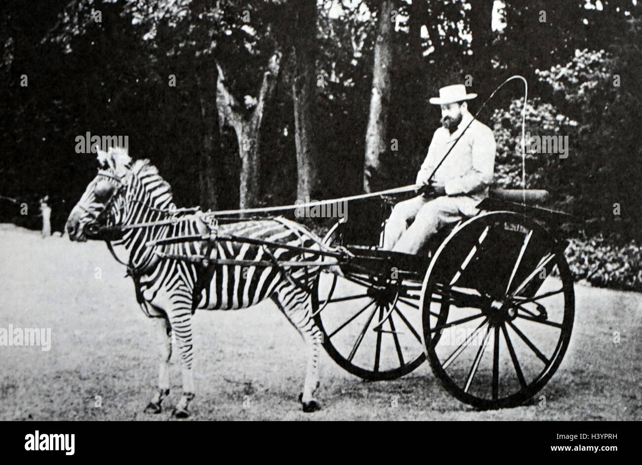 Lionel Walter Rothschild (1868-1937), 2nd Baron Rothschild, rides in carriage drawn by a zebra 1895 - Stock Image