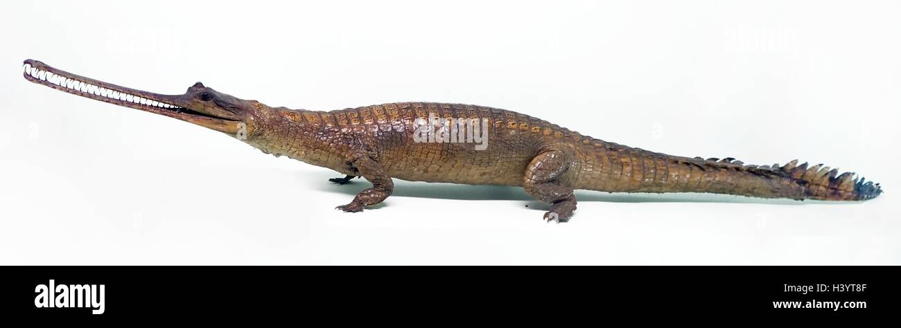 Model of a young Gharial, a crocodilian of the family Gavialidae. Dated 20th Century - Stock Image