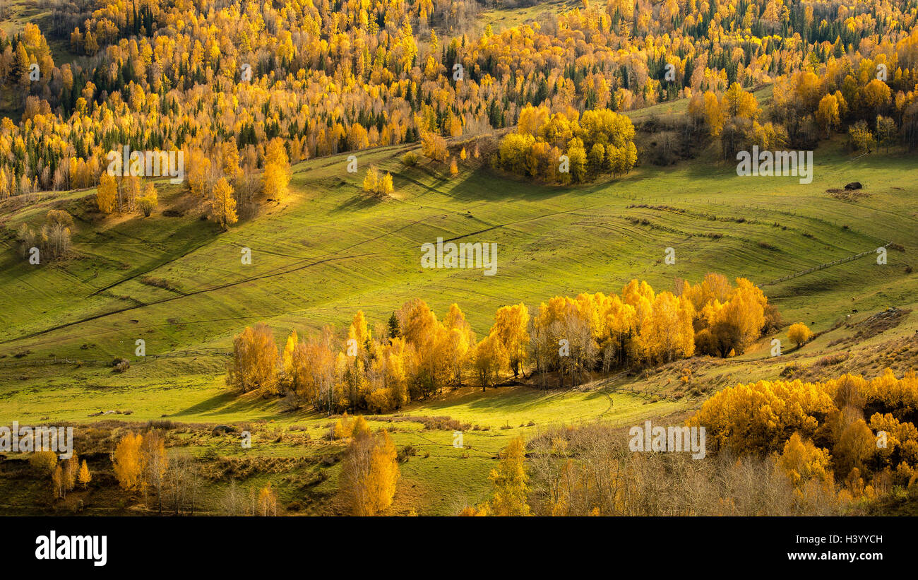 Aerial view of alpine forest, Kanas Lake, Xinjiang, China - Stock Image