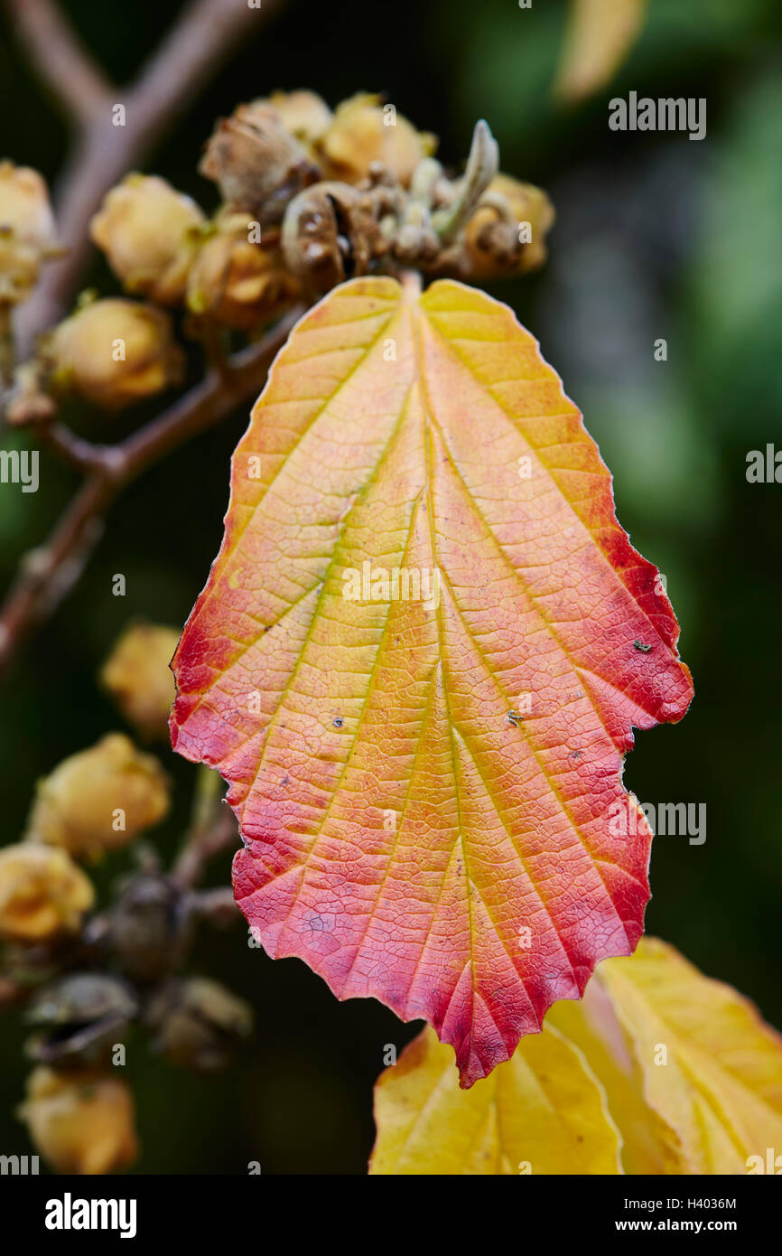Witch Hazel Autumn Leaves Hamamelis Stock Photos & Witch Hazel Autumn Leaves Hamamelis ...