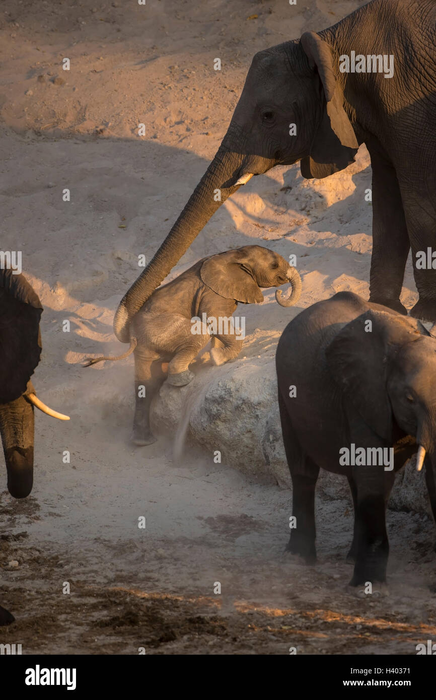 Baby African elephant Loxodonta africana being helped to climb a ridge by mother using her trunk - Stock Image