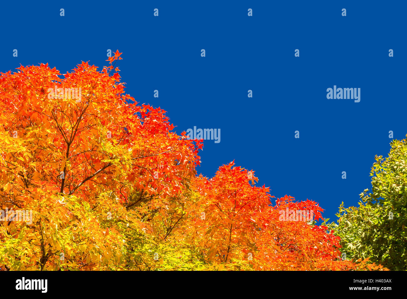 Autumn maple trees with red leaves against pure blue sky in Montreal, Quebec, Canada - Stock Image