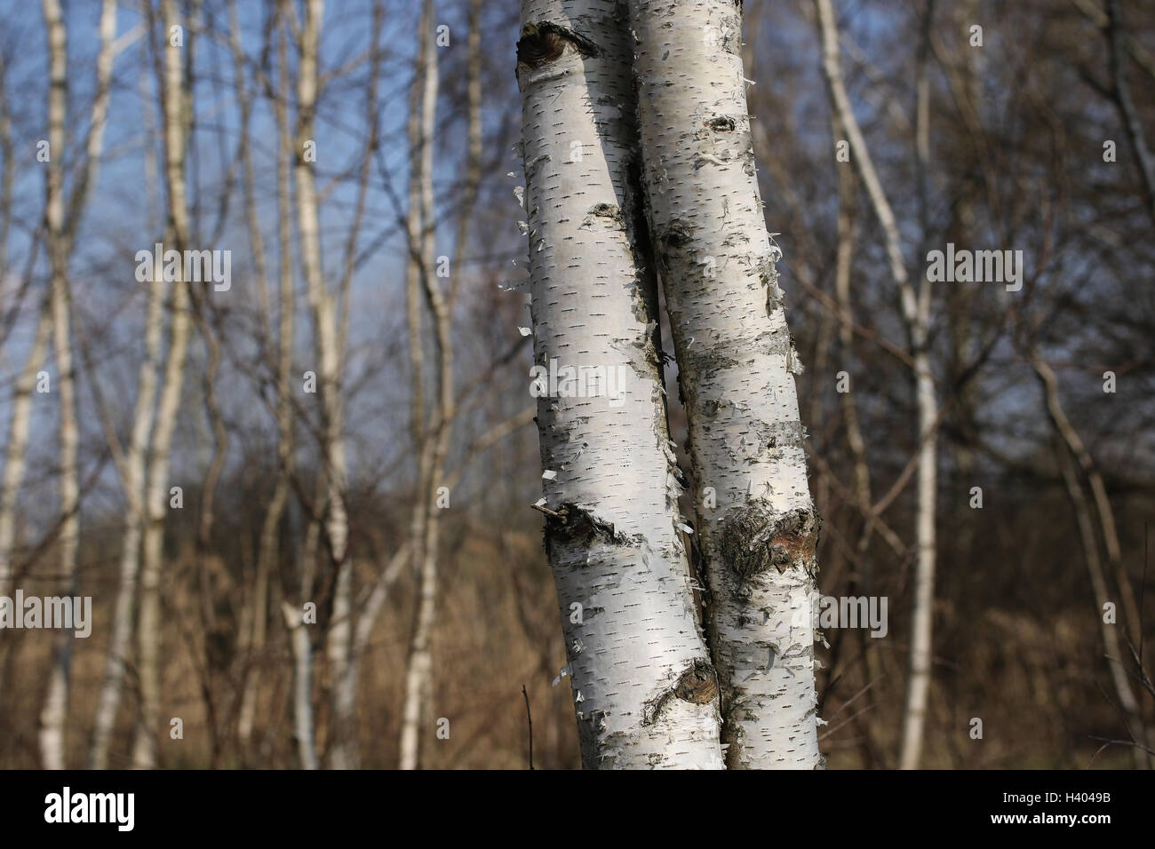 Two birch tree trunks merged together - Stock Image