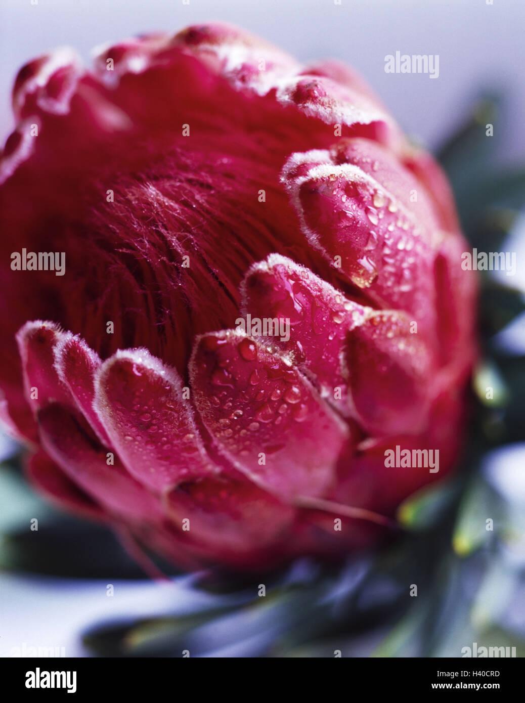 Protea Protea Spec Detail Blossom Red Drops Water Plant Stock