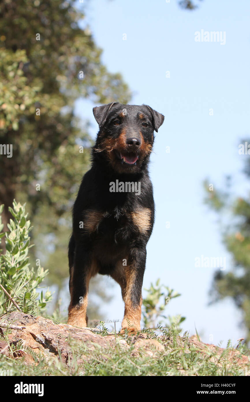 Dog Jagdterrier / jagd terrier / Deutscher Jagdterrier adult standing forest attentive - Stock Image