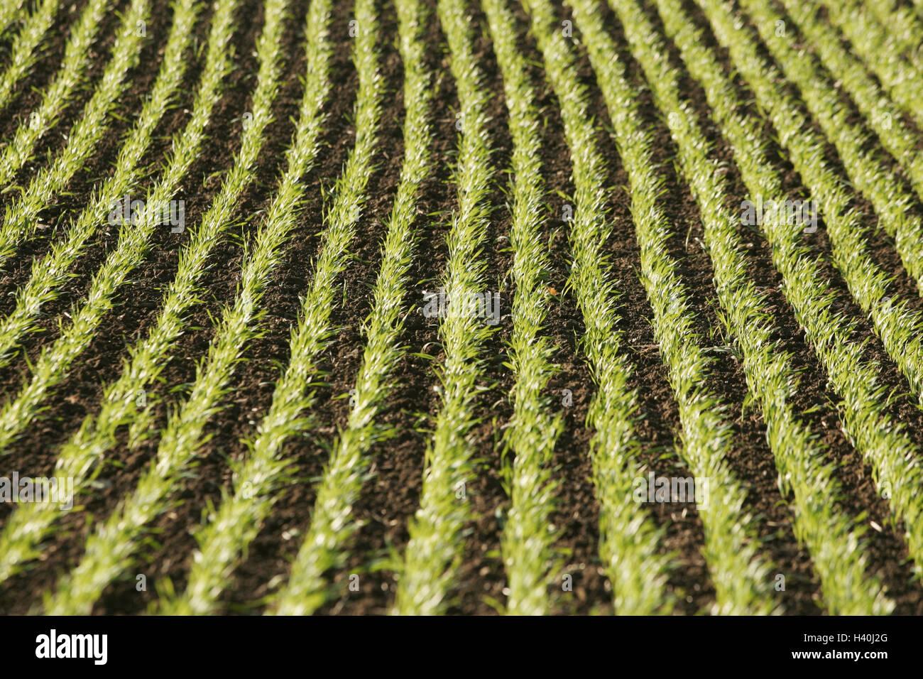 Germany, field, detail, Setzlinge, Europe, field, field economy, agriculture, cultivation, grain, growing grain, - Stock Image
