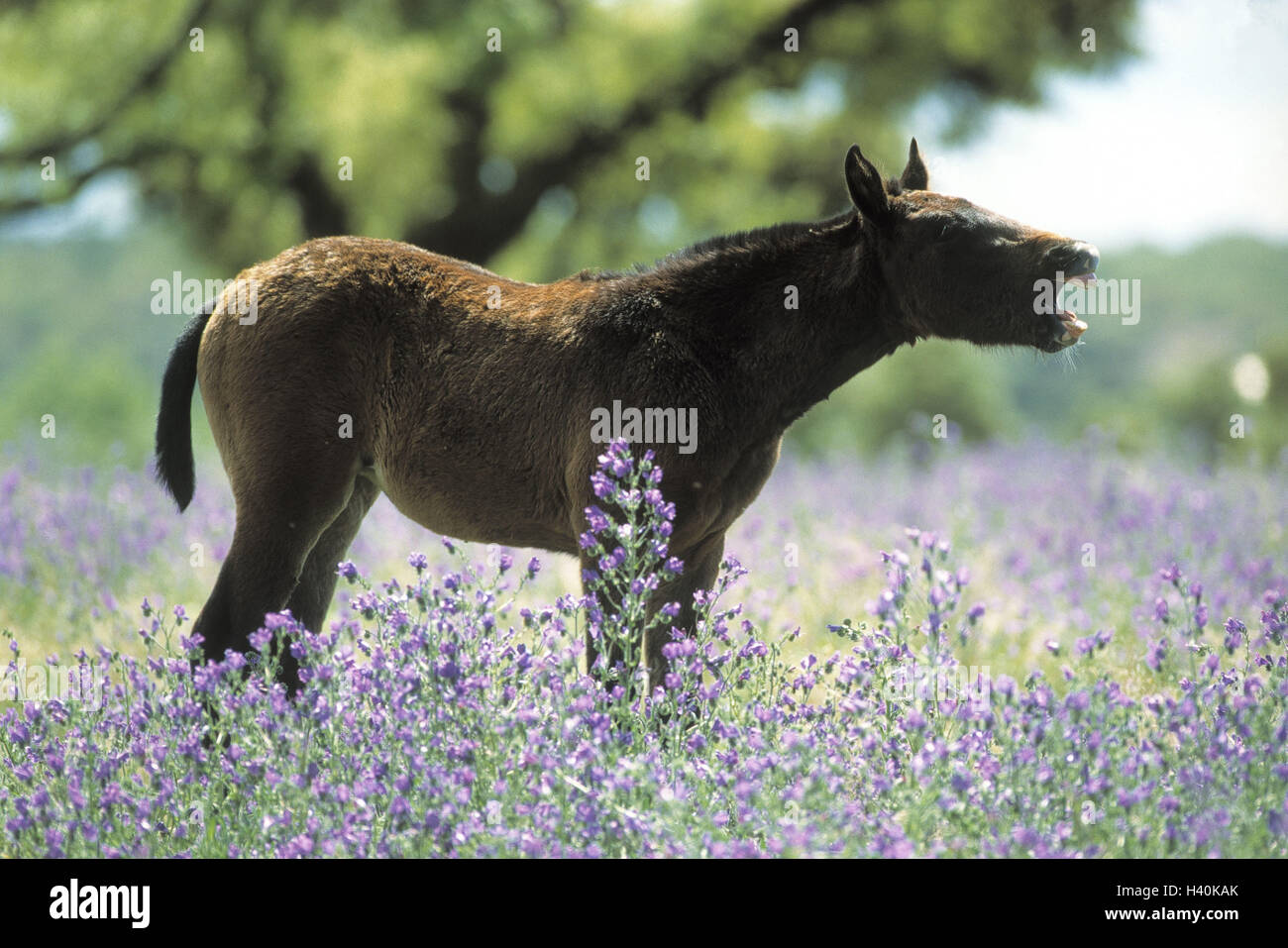 Horse, Lusitaner foal, neigh, side view, flower meadow, animals, mammal, mammals, young animal, foal, horses, young, - Stock Image