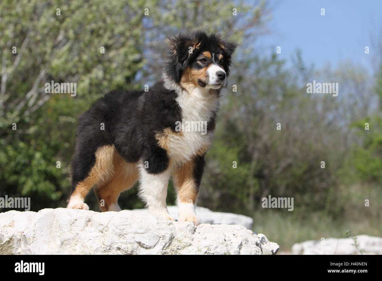 Dog Australian Shepherd Aussie Puppy Black Tricolor Standing Stock Photo Alamy
