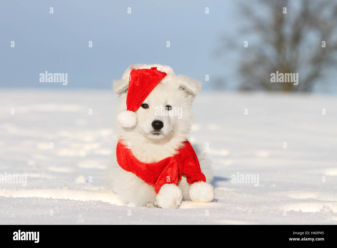 White Swiss Shepherd Dog Berger Blanc Suisse Puppy In Christmas