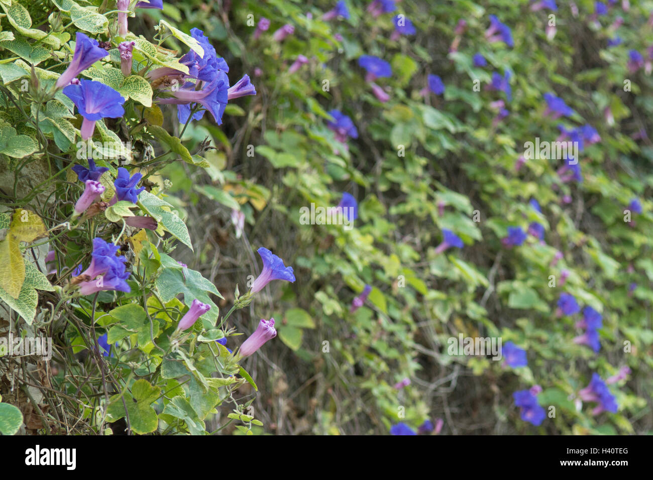 Ipomoea - Morning Glory - blue - covering a large wall in Paxos, Greece - Stock Image