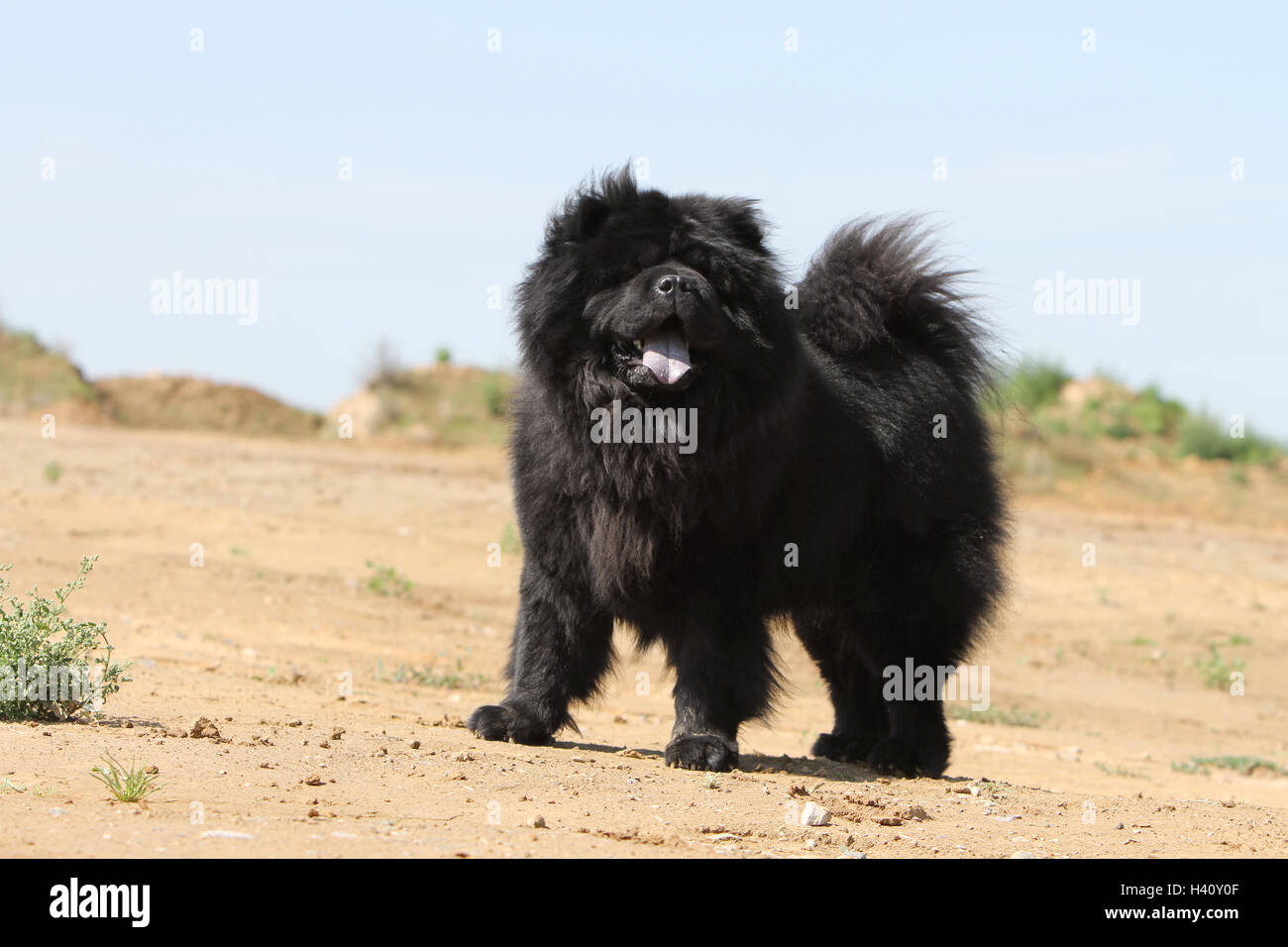 Dog Dogs Chow Chow Chow Chow Pet Chows China Pet Adult Black