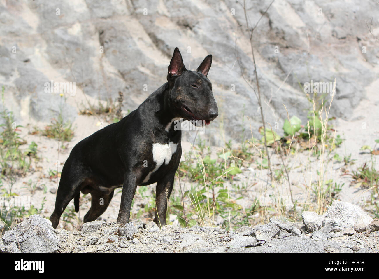 Dog English Bull Terrier / bully / Gladator standing rock black nature natural - Stock Image