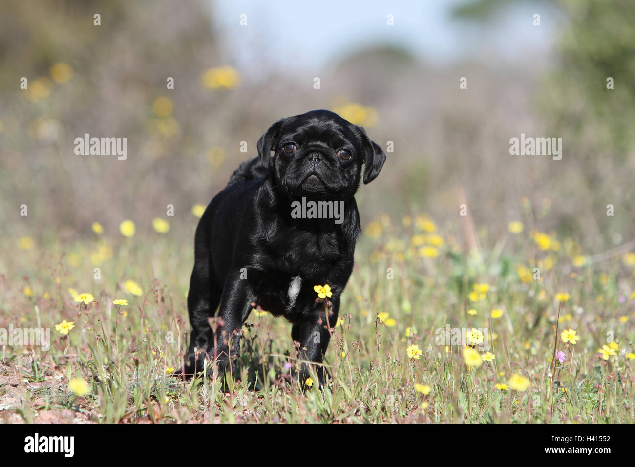 Dog Pug / Carlin / Mops puppy black standing field flower attentive natural - Stock Image