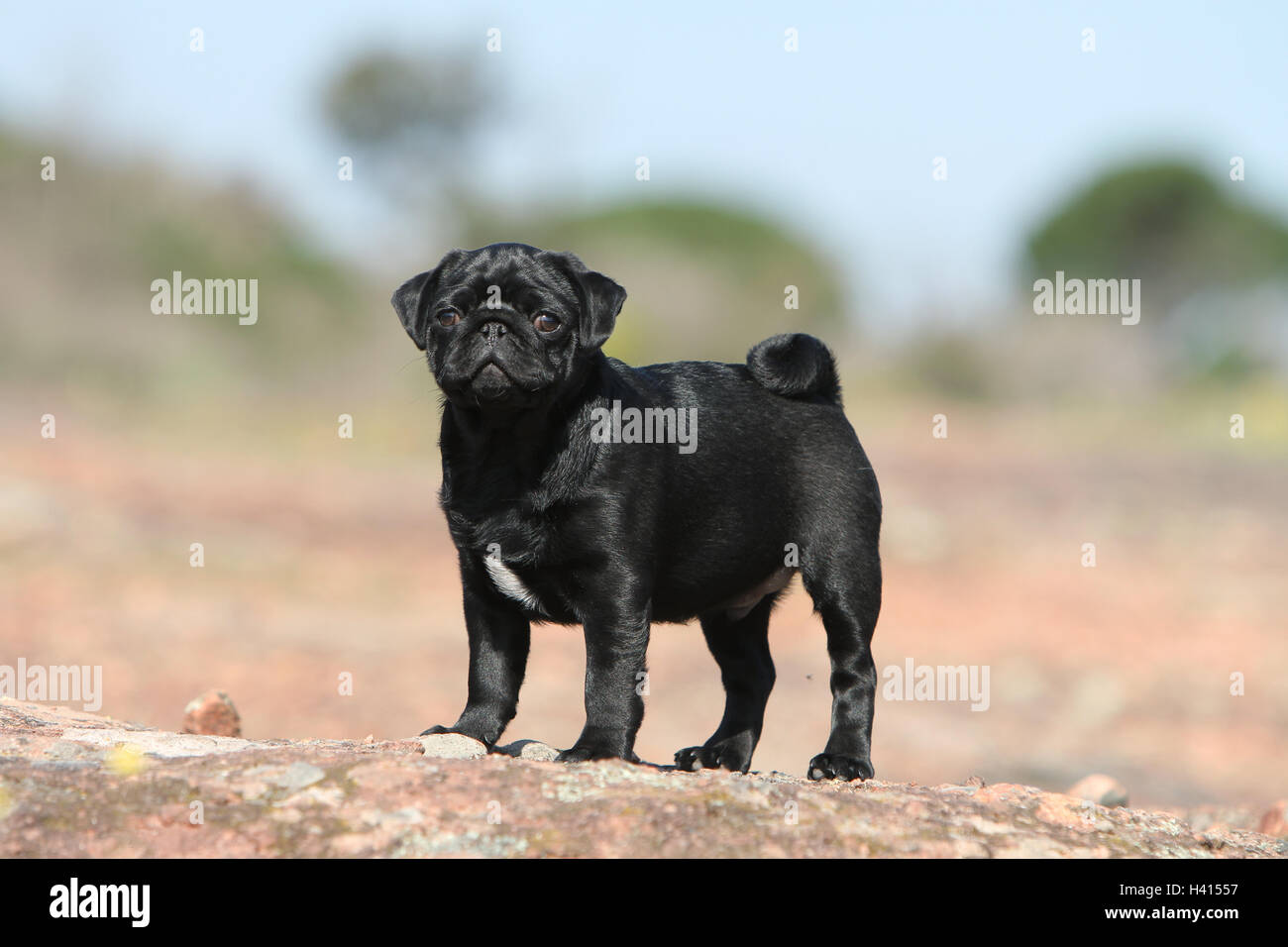 Dog Pug / Carlin / Mops standing profile standard rock in the wild blue sky - Stock Image