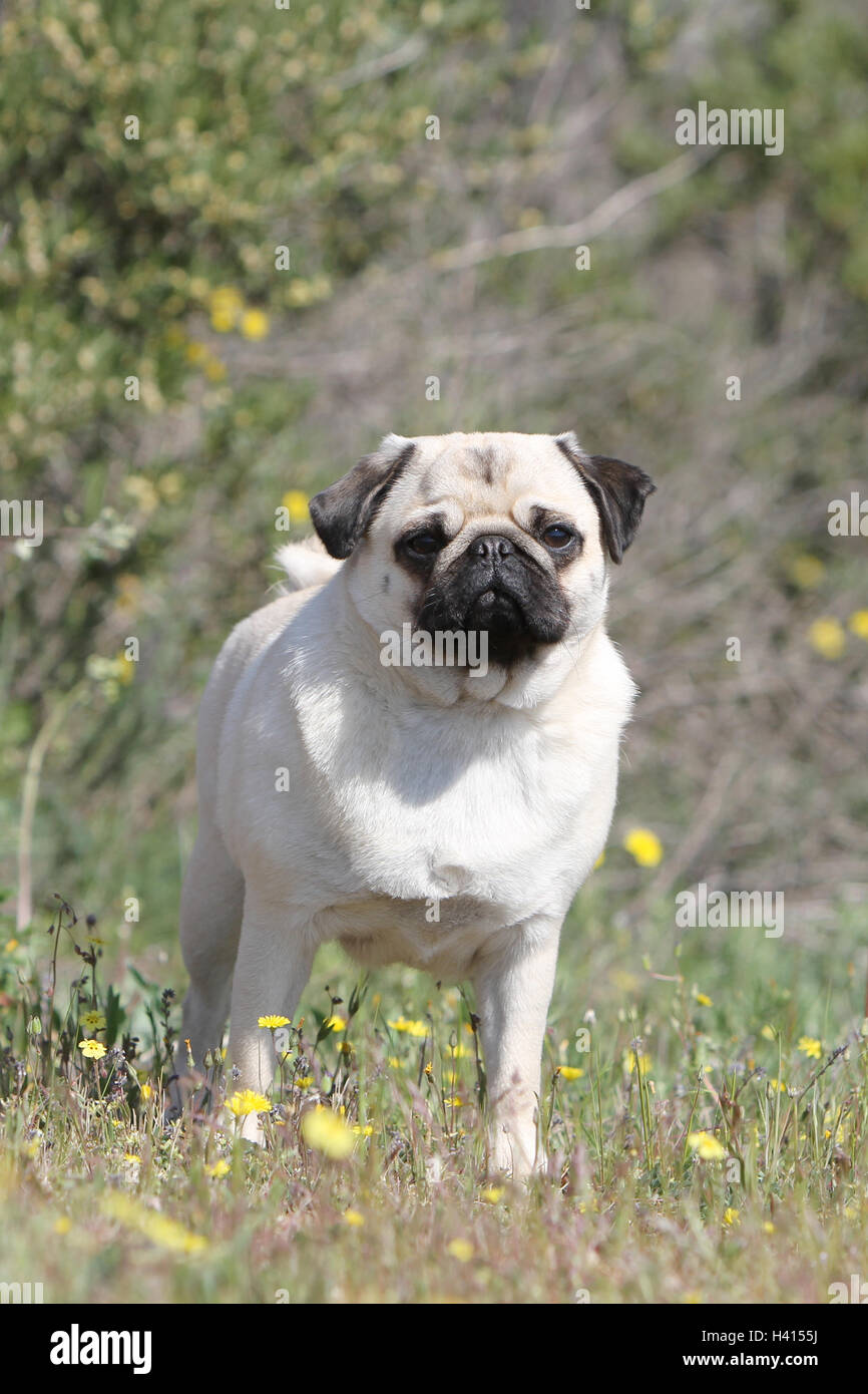 Dog Pug / Carlin / Mops adult fawn Grey gray standing flower flowers in the wild meadow bloom portrait - Stock Image