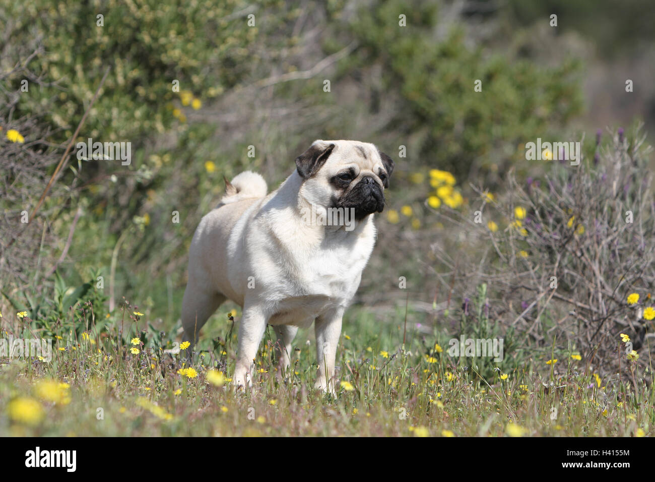 Dog Pug / Carlin / Mops adult fawn Grey gray standing flower flowers in the wild meadow bloom - Stock Image