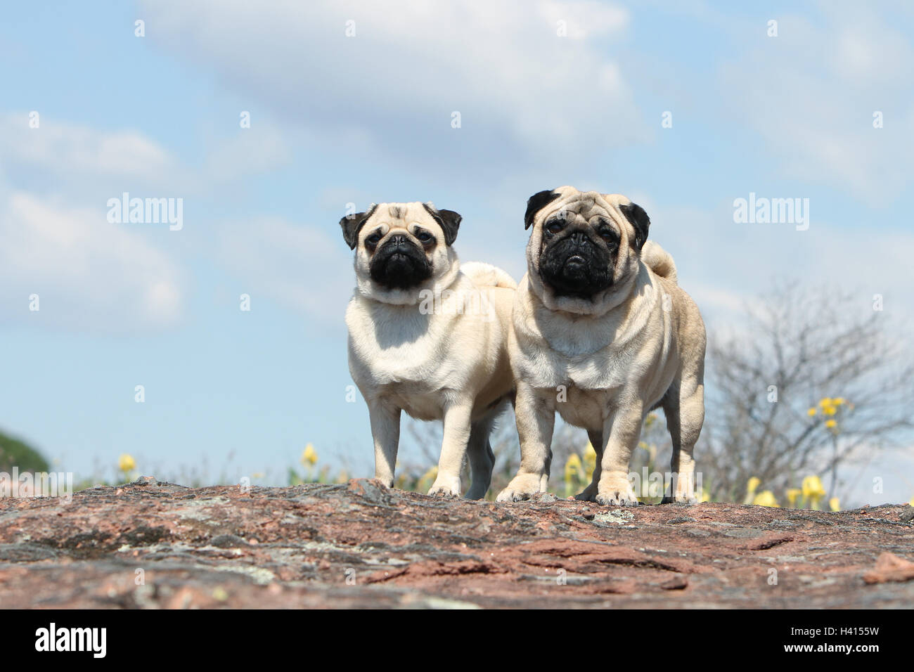 Dog Pug / Carlin / Mops adult, adults, adult mature, mid adult fawn grey gray 2, two, several, together, duo, pair, - Stock Image