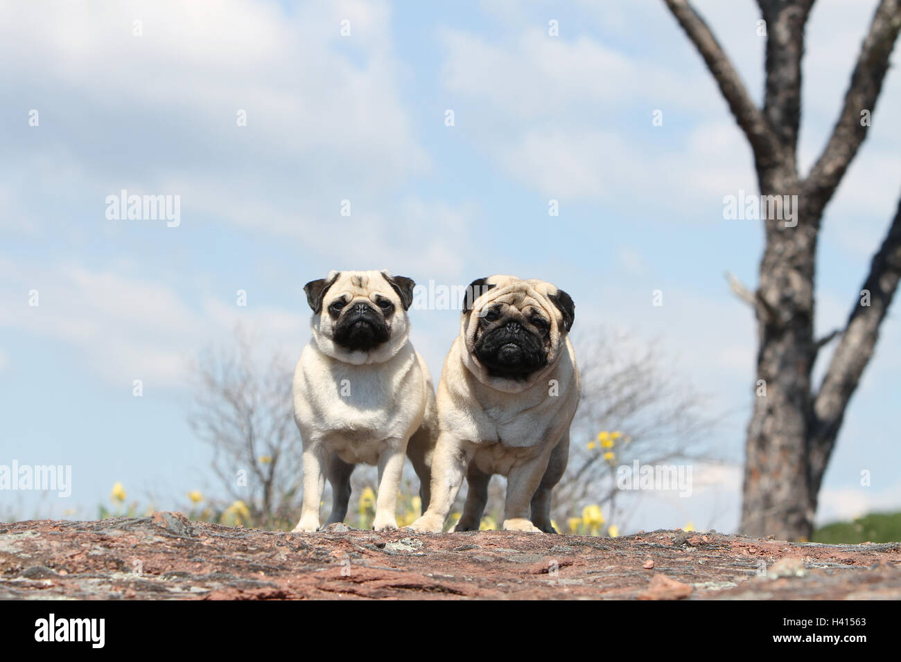 Dog Pug / Carlin / Mops adult, adults, adult mature, mid adult fawn grey gray 2, two, several, together, duo, pair, Stock Photo