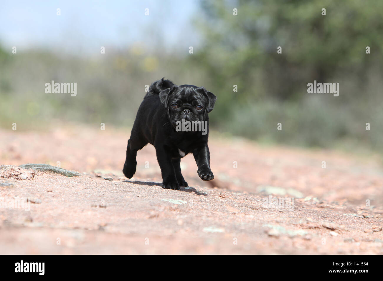 Dog Pug / Carlin / Mops puppy black standing rock in the wild - Stock Image
