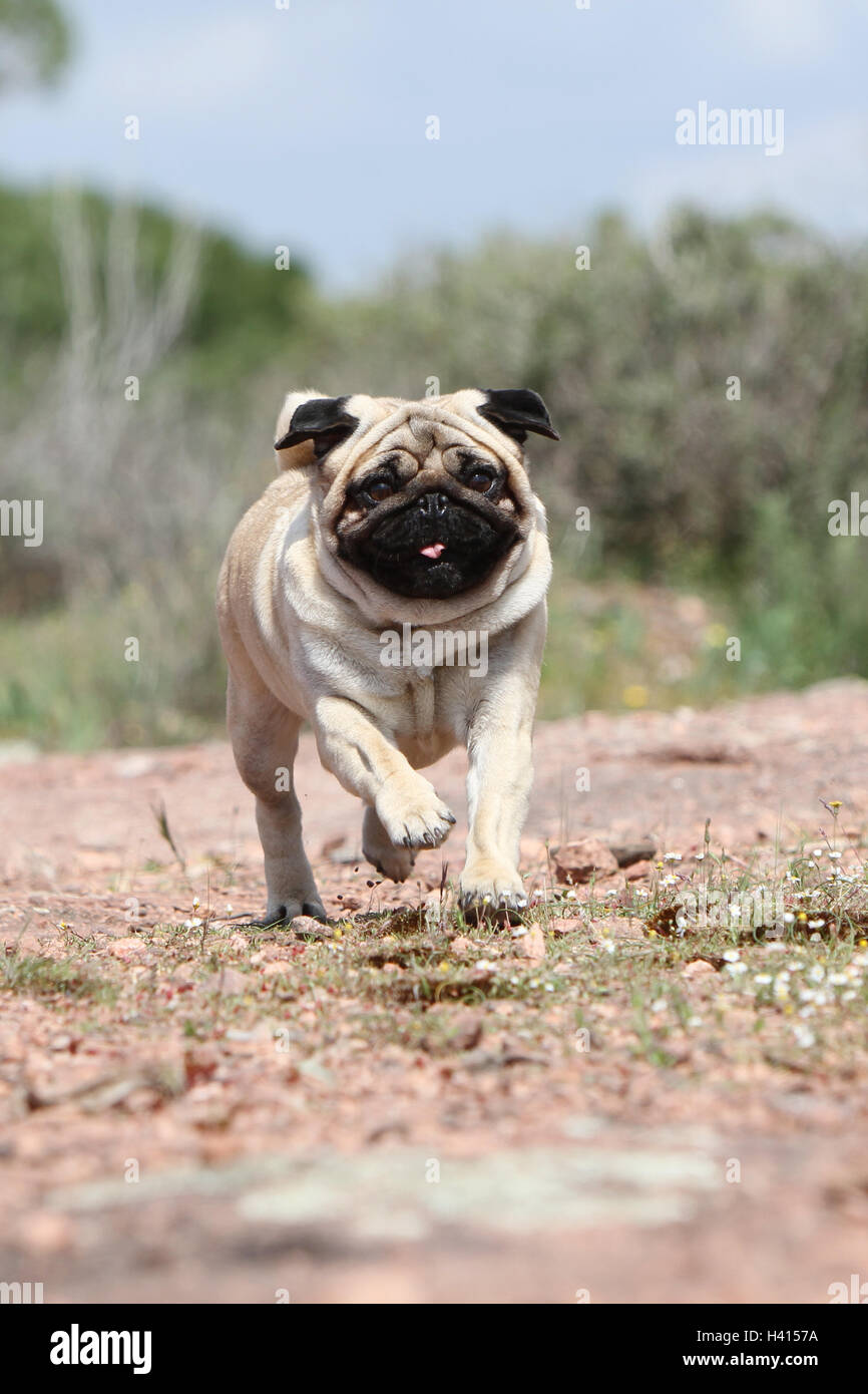 Dog Pug / Carlin / Mops adult fawn grey gray standing rock in the wild - Stock Image