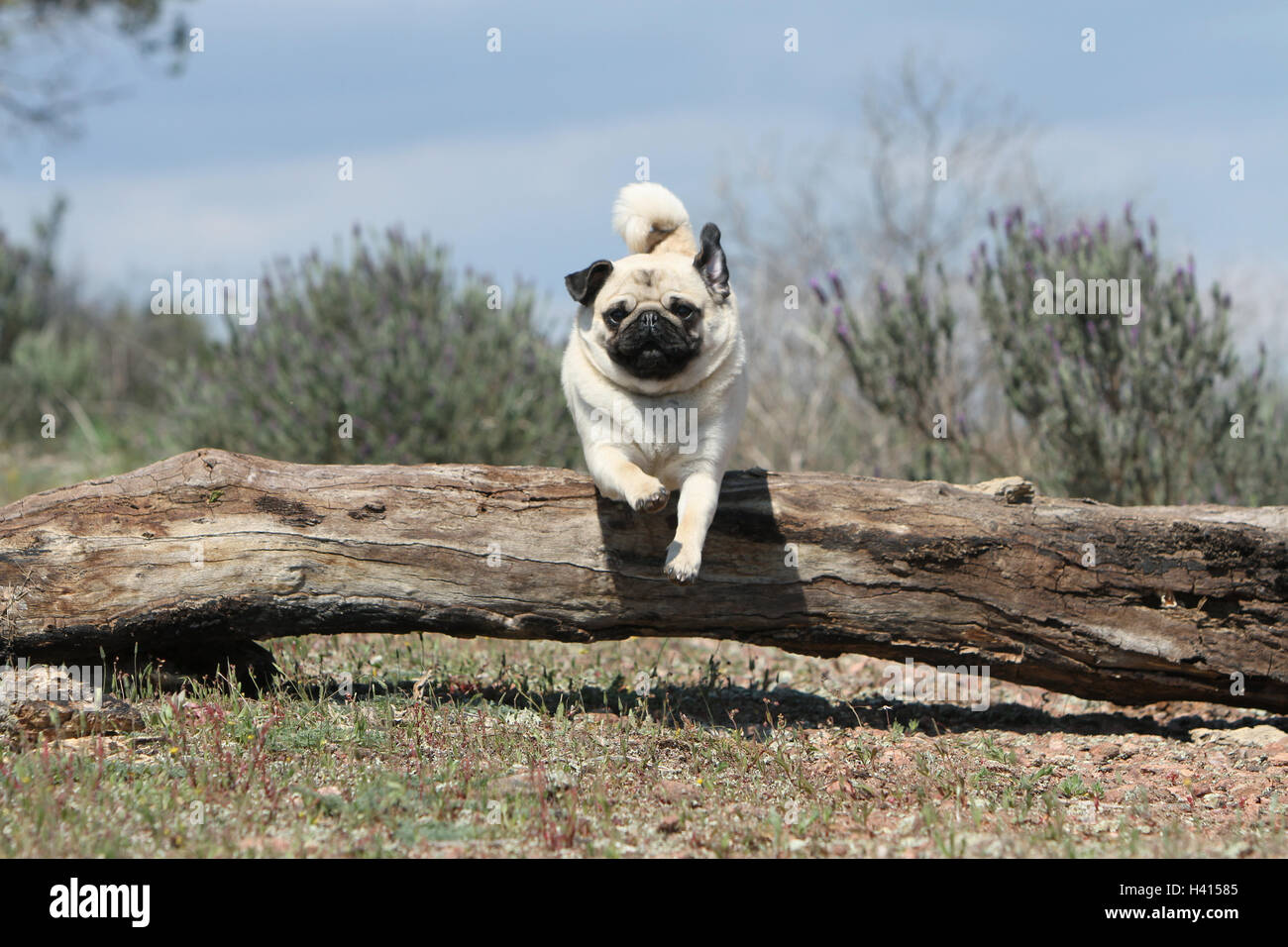 Dog Pug / Carlin / Mops adult fawn Grey dray jump jumping 'to jump' over a wood tree trunk a hurdle an obstacle - Stock Image