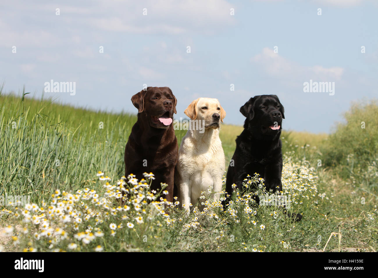 Dog Labrador Retriever  two adult different colors (chocolate, yellow and black) sitting on a meadow Stock Photo
