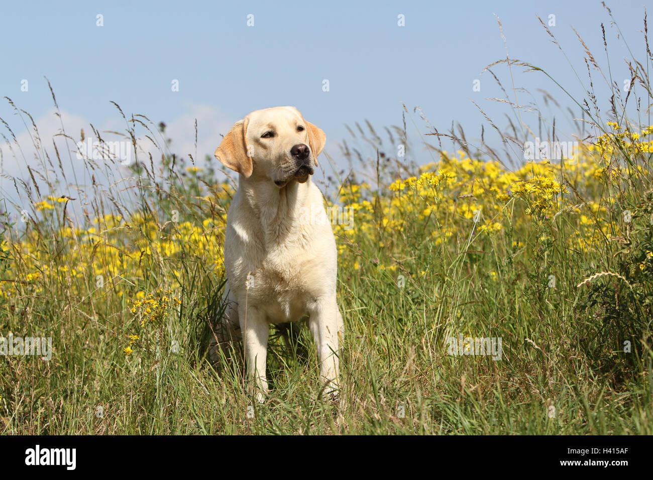 Dog Labrador Retriever  adult (yellow) sitting in a meadow - Stock Image