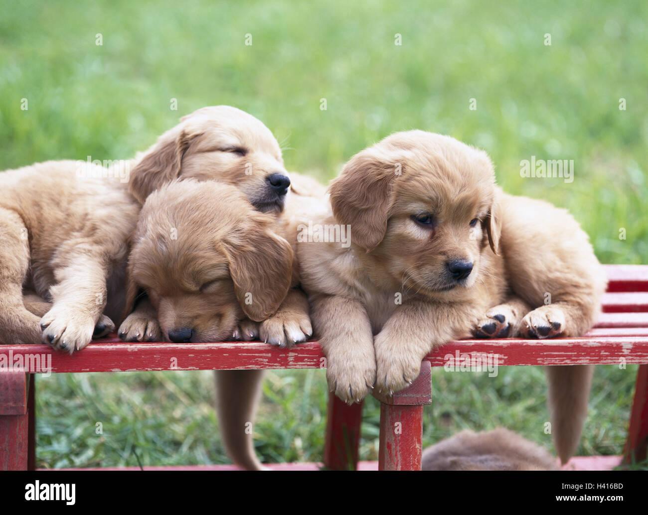 Wooden Bank Hovawart Hybrids Puppies Three Animals Mammals