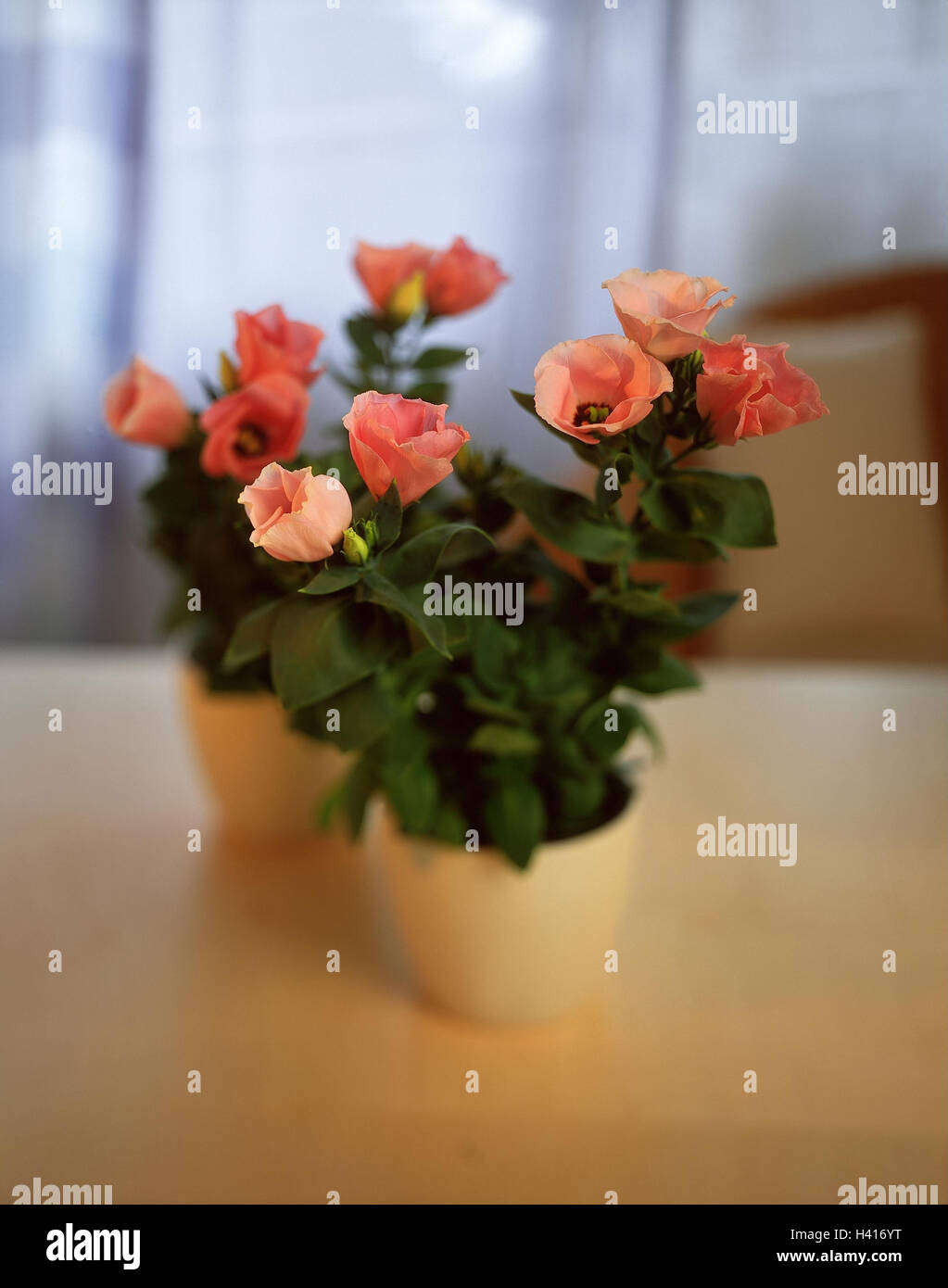 Eustoma grandiflorum, syn. Lisianthus russelianus, 'Rose Bell' potted plant, blossoms, pink, potted flower, - Stock Image