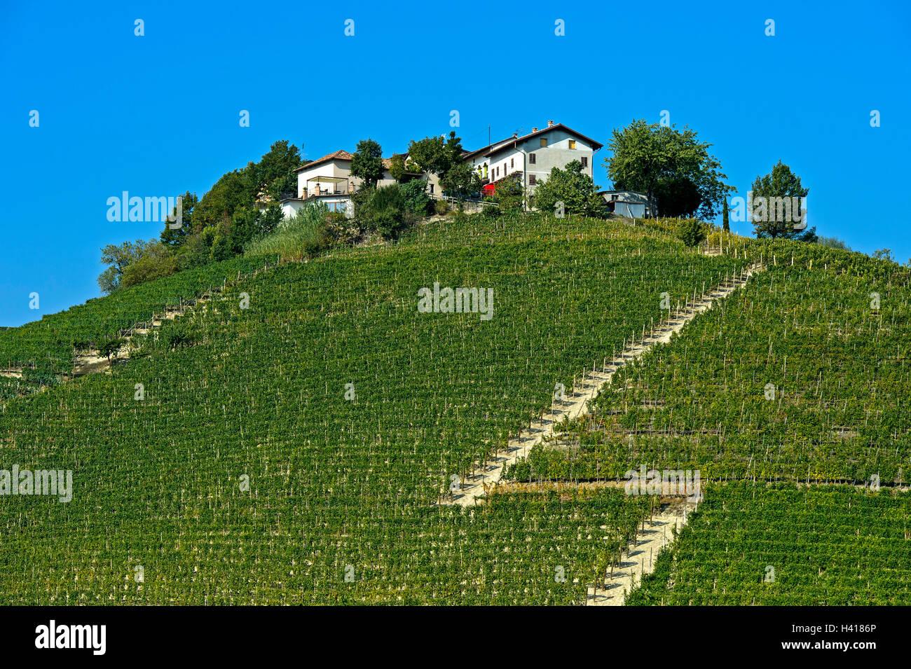 Vineyards of Nebbiolo grapes for Barbaresco red wine in the producing area Barbaresco, Montestefano, Barbaresco, - Stock Image
