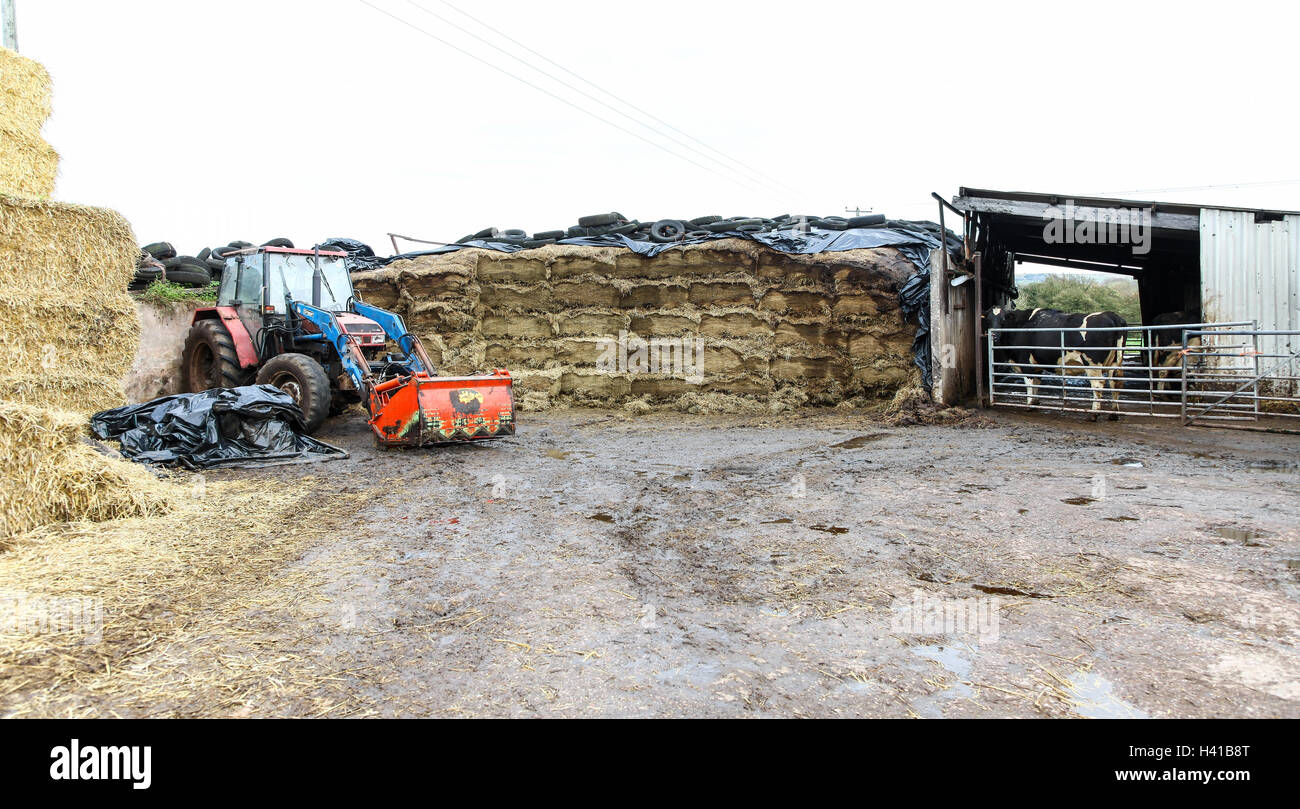 A silage clamp cut with a shear grab to seal the cut face with a tractor and grab and a cow in a cow shed - Stock Image