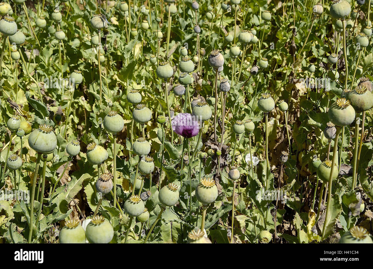 Turkey afyon meadow poppy seed papaver detail capsules south turkey afyon meadow poppy seed papaver detail capsules south east europe poppy field cultivation poppies plants fadeds poppy seed capsules mightylinksfo