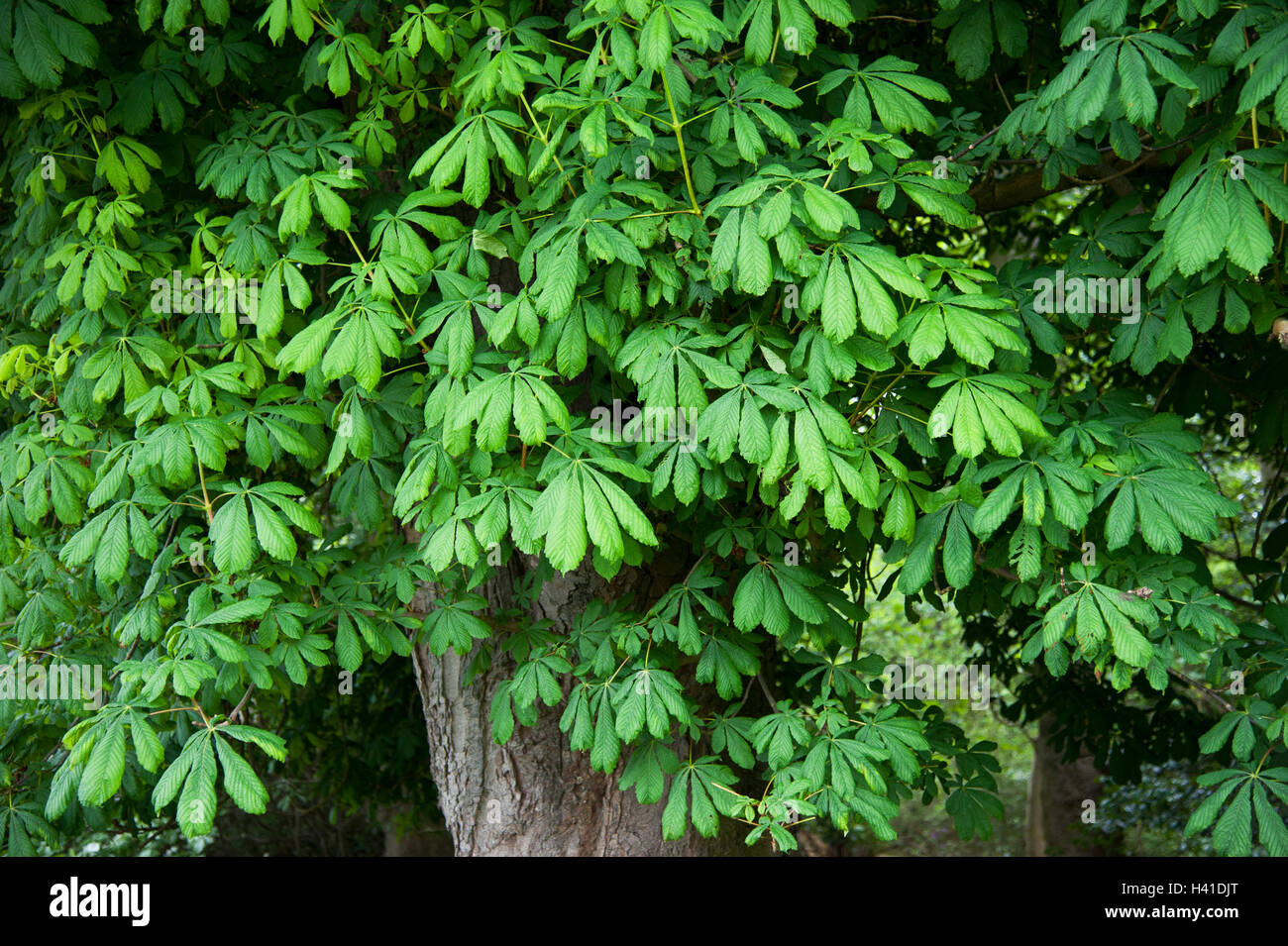 Horse chestnut tree in late spring - Stock Image
