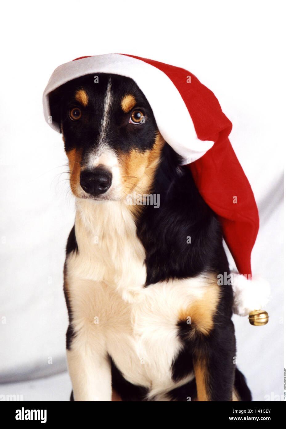 Border Colliechristmaschristmas Capchristmas Perioddogsanta