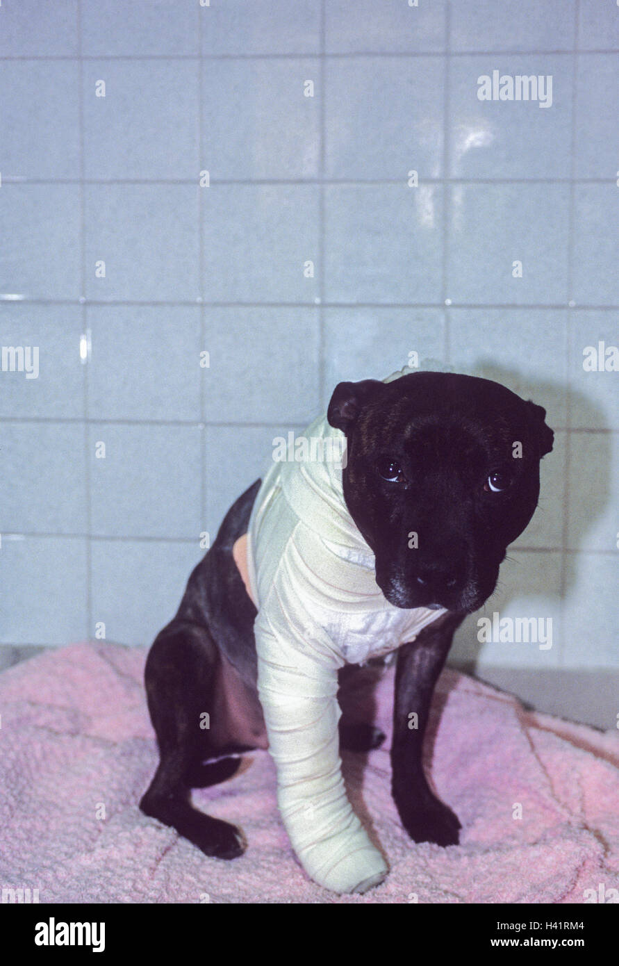 Injured dog, Staffordshire Bull Terrier,(Canis familiaris),leg bandaged after surgery following fight with another - Stock Image
